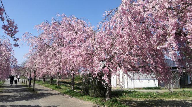 シーズン到来 日中線の桜は一見の価値あり!